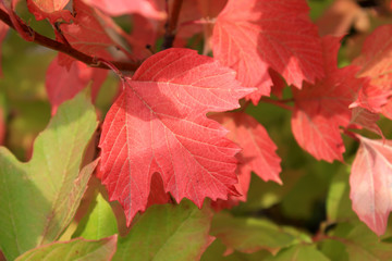 Autumn colors. Red and green leaves of viburnum