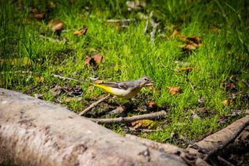 Wunderschöner kleiner Gebirgs Vogel
