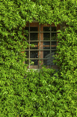 View of a closed window and of a wall covered with ivy