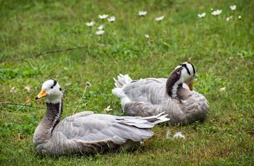 The Bar-headed goose (Anser indicus)