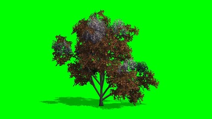 tree japanese stewertia fall with shadow on green screen