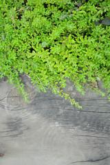 New vine leaves on old wood