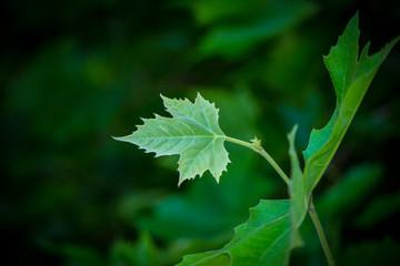 Wunderschönes kleines grünes Ahorn Blatt