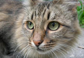 Grey kat