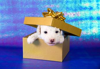 Hundewelpe in Geschenkbox
