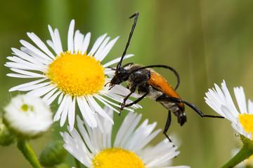 "Beetle ""Leptura rubra"" on a daisy flower. Macro shot."