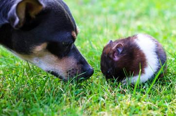 Pincher meet hamster
