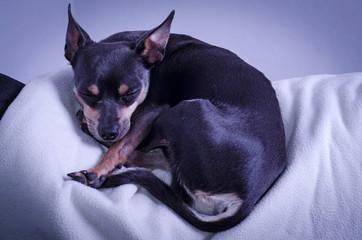 Pincher dog sleeping on sofa
