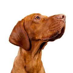 Hungarian Vizsla Hund
