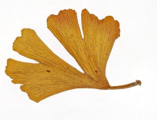 Ginkgo - Blatt im Herbst