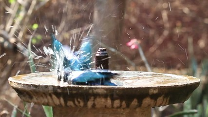Starling birds splashing water in a beautiful birdbath