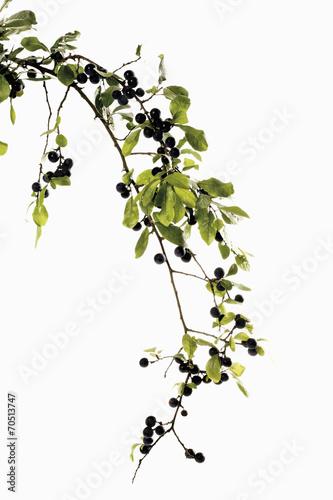 canvas print picture Zweig mit Früchten Schlehdorn,Schlehe,Schlehen (Prunus spinosa)