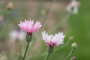 Two pink flowers of a cornflower in a garden