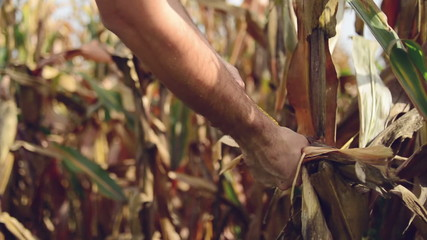 Farmer picking Ripe maize on the cob in agricultural field