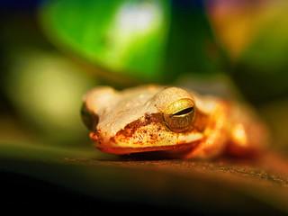 Frosch liegend auf Blatt