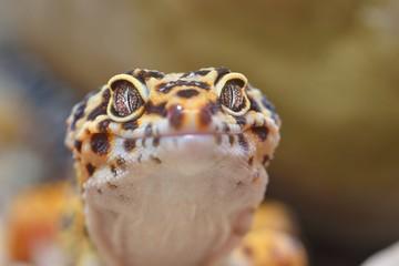 Leopard gecko Eublepharis macularius in the Zoo