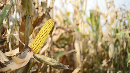 Ripe maize on the cob in cultivated agricultural corn field