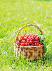 Basket full of ripe raspberry on green grass