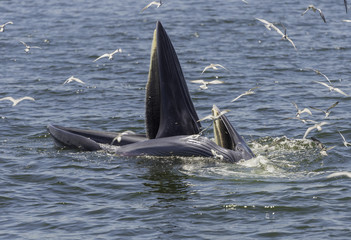 Whale open the mouth to eat small fish