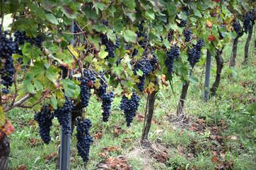 Filare di uva croatina