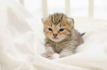newborn kitten of American Shorthair