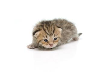 Newborn tabby kitten on white background