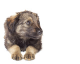 cute puppy mutts on a white background isolated poster