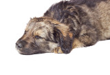 sleeping puppy mutts on a white background isolated poster