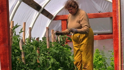 Grandma gardener woman tie tomato plants in greenhouse