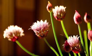 flowers of garlic in vase on table, Allium sativum