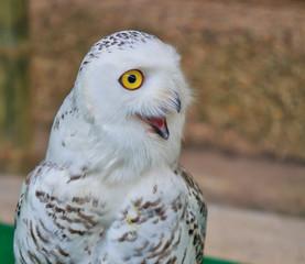Portrait of a snow owl