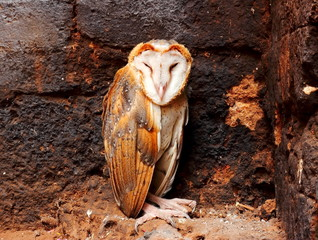 Close up a Barn Owl.