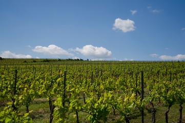 viticulture10