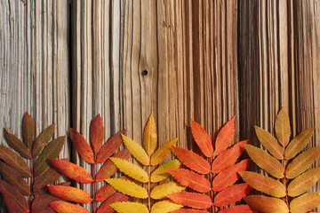 Frame from autumn leaves mountain ash on wooden background