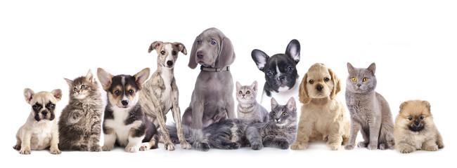 Weimaraner puppy and kitten, Cat and dog