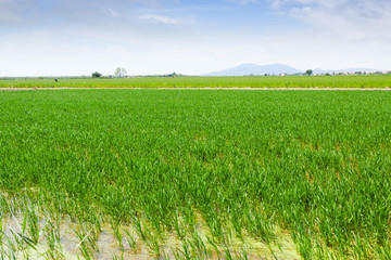 rice fields at Ebro Delta