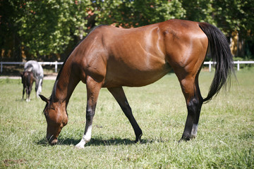 Thoroughbred horse grazing in pasture summertime