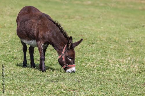 Fotobehang Ezel âne brun