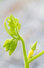 Pumpkin vine against blurred background