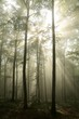 Early autumn beech forest at dawn after rainfall