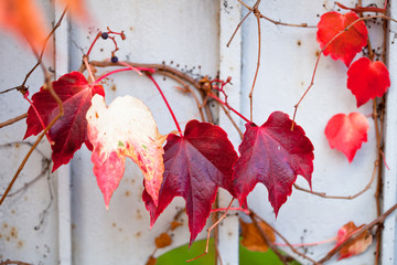 Uneatable grape vine branch with leafs on the wall