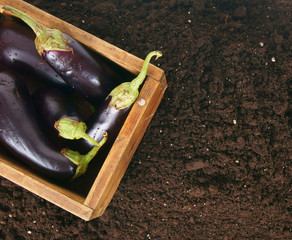 Harvesting. Eggplants in an old box on earth.