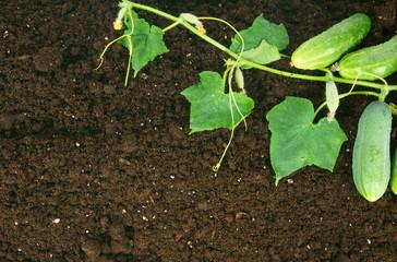 Harvesting. Fresh cucumbers on earth.