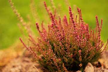Plant of flowering heather