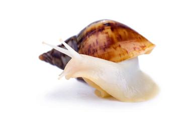 big african snail