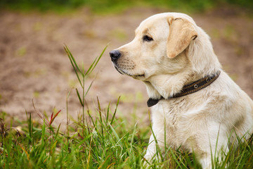 Beautiful labrador sitting in a grass