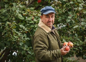 Portrait of a senior farmer holding the apples in his orchard