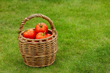 Ripe tomatoes in basket
