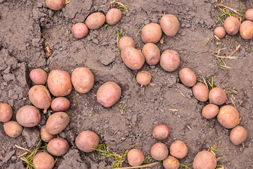 Farm field with ripe red potatoes