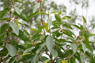 Australian sweet sandpaper fig